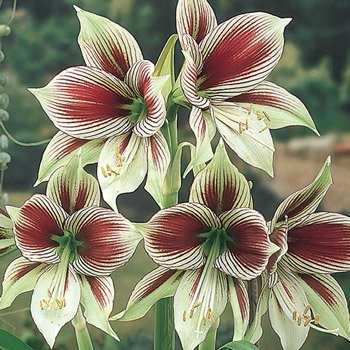 Butterfly Amaryllis