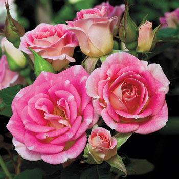 Rose Whimsy™