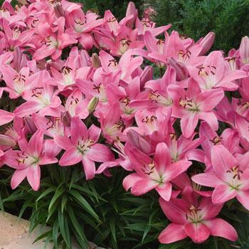Pink Carpet Border Lilies