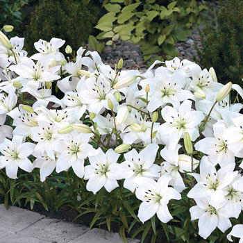 White Carpet Border Lilies™