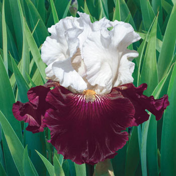 Twist of Sheree Bearded Iris