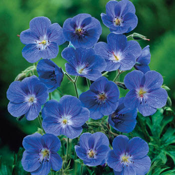 Geranium Johnson Blue