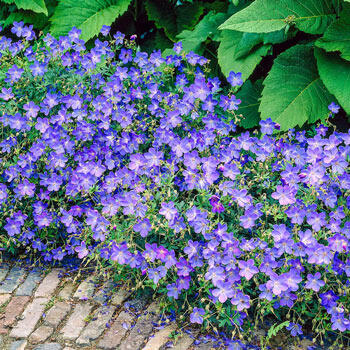 Johnson's Blue Hardy Geranium