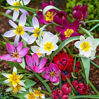 Wild Tulip Mix