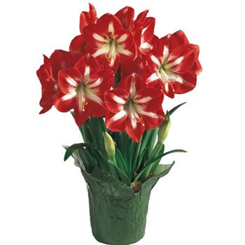 Holiday Star Amaryllis