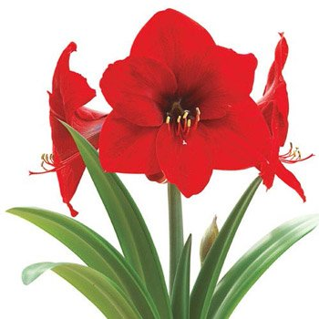 Holiday Red Amaryllis