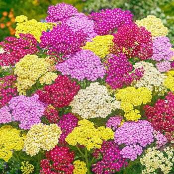 Summer Pastels Yarrow Mixture