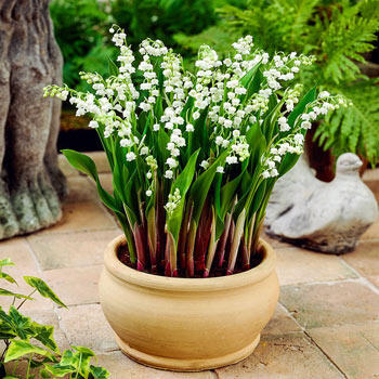 Doreen Lily-of-the-Valley