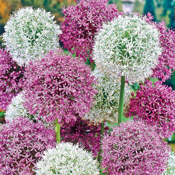 Giant Mixed Allium Super Bag