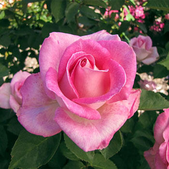 Pink Celebration Hybrid Tea Rose