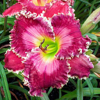 Ruby Clare Mims Reblooming Daylily