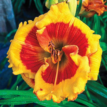 Brookwood Lee Causey Daylily