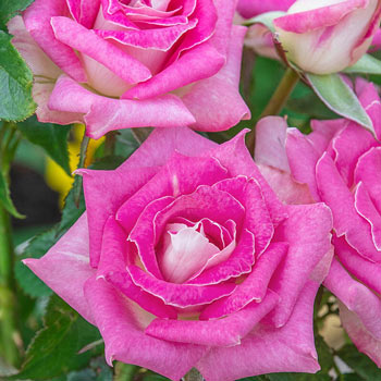 Painted Porcelain™ Hybrid Tea Rose
