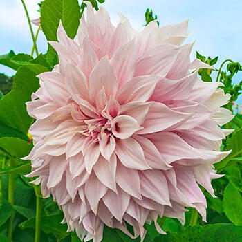 Break Out Dinnerplate Dahlia