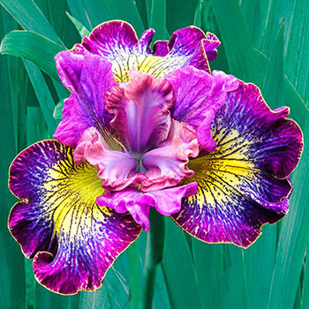 How Audacious Siberian Iris