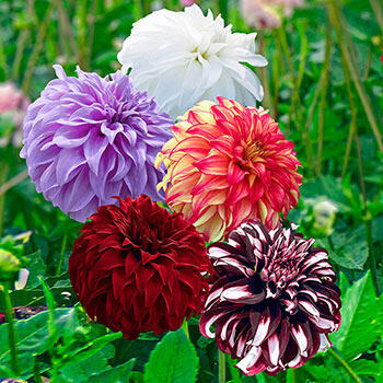 Beach Ball Dahlia Collection