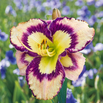 Spacecoast Sea Shells Reblooming Daylily