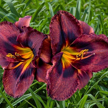 Smith Brothers Reblooming Daylily