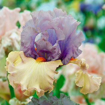 Enraptured Bearded Iris
