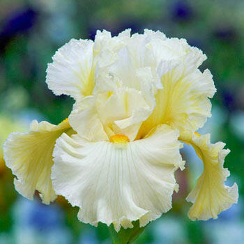 Cloud Dweller Bearded Iris