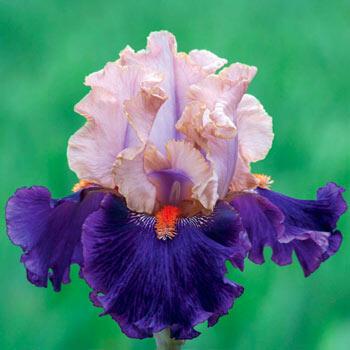 Petalpalooza Bearded Iris