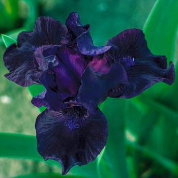 Bad Intentions Dwarf Bearded Iris