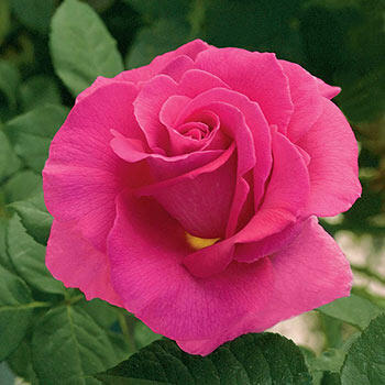 Gentle Giant™ Hybrid Tea Rose
