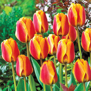 Apeldoorn's Elite Perennial Tulip
