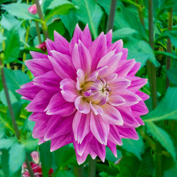 Ferncliff Inspiration Dahlia