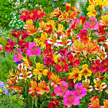 Hardy Majestic Alstroemeria Mixture