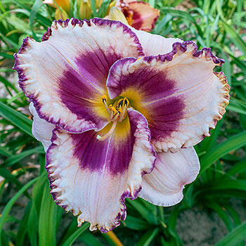 Regal Braid Reblooming Daylily