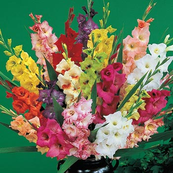 Deluxe Gladiolus Mixture Super Sak