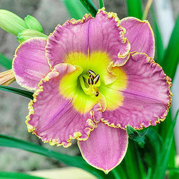 Spacecoast Easy Rider Daylily