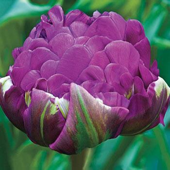 Negrita Double Tulip