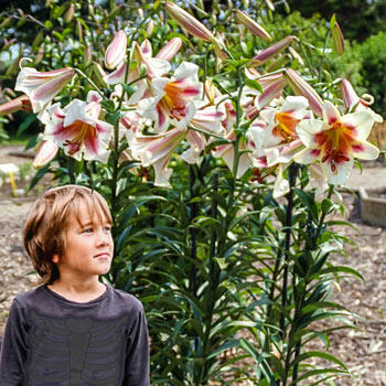 Passion Moon Trumpet Lily