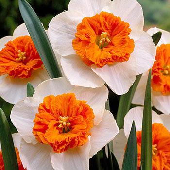 Bella Vista Daffodil