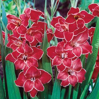 Atom Hardy Gladiolus