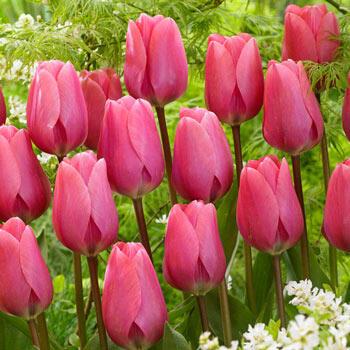 Big Love Tulip