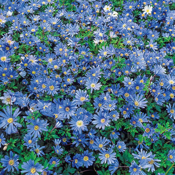 Blue Shades Anemone