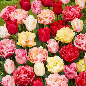 Surprise Party Tulip Mix