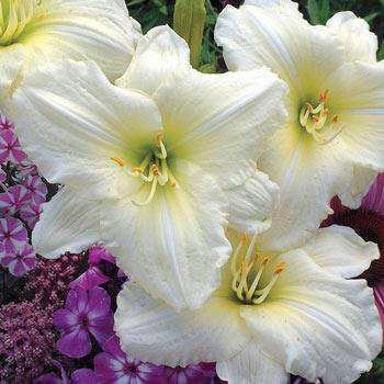 Joan Senior Reblooming Daylily