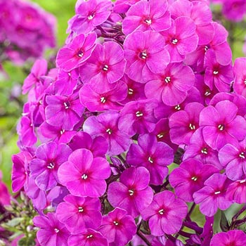 Little Princess Phlox