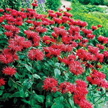 Garden View Scarlet Bee Balm