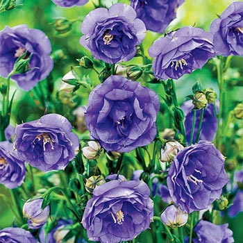 La Belle Blue Double Peachleaf Bellflower