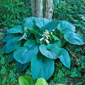 Blue Umbrellas Hosta