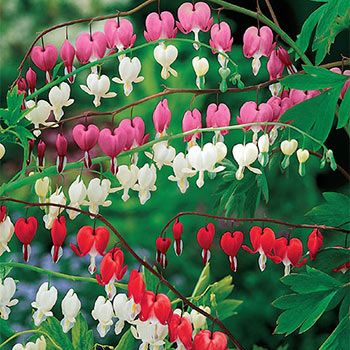 Old-Fashioned Bleeding Heart Collection Super Sak®