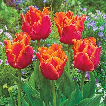 Amazing Parrot Tulip