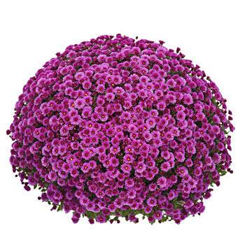 Regal Purple Garden Mum