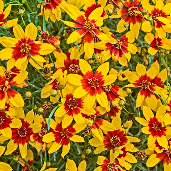 Curry Up Coreopsis