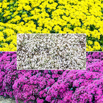 "Breck's® ""We've Got That Covered"" Sedum Collection"